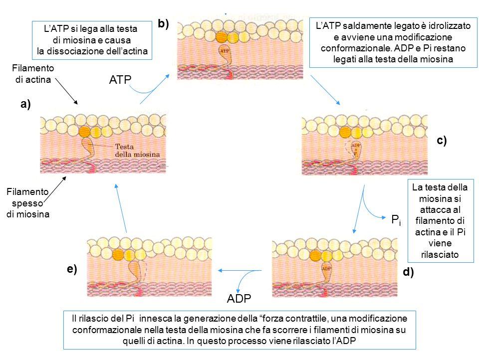 a) b) c) d) e) ATP PiPi ADP Filamento di actina Filamento spesso di miosina L'ATP si lega alla testa di miosina e causa la dissociazione dell'actina L
