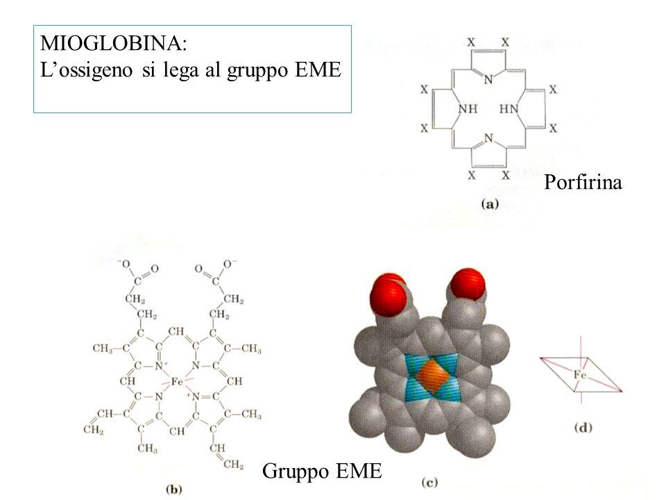 MIOGLOBINA: L'ossigeno si lega al gruppo EME Porfirina Gruppo EME