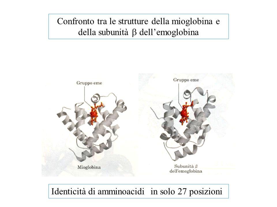 Confronto tra le strutture della mioglobina e della subunità  dell'emoglobina Identicità di amminoacidi in solo 27 posizioni