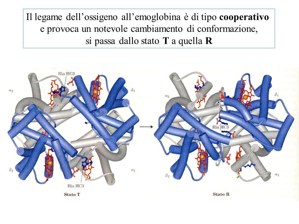 Il legame dell'ossigeno all'emoglobina è di tipo cooperativo e provoca un notevole cambiamento di conformazione, si passa dallo stato T a quella R