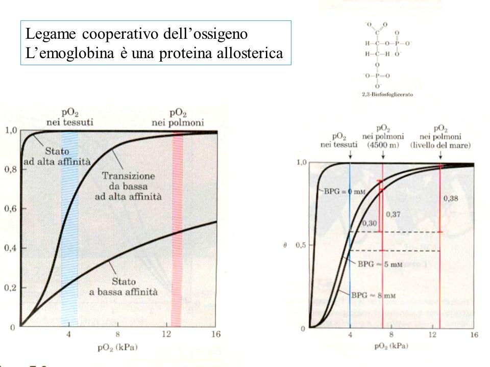Legame cooperativo dell'ossigeno L'emoglobina è una proteina allosterica