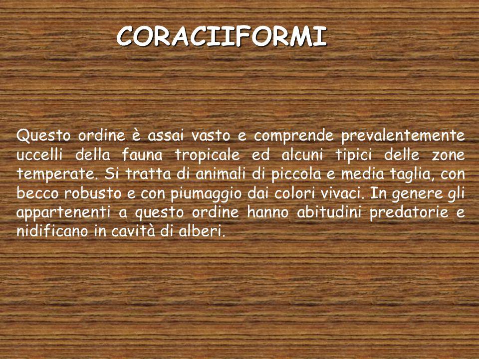 CORACIIFORMI Questo ordine è assai vasto e comprende prevalentemente uccelli della fauna tropicale ed alcuni tipici delle zone temperate.
