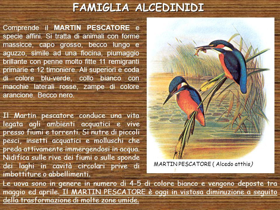FALCONIFORMI I Falconiformi costituiscono un ordine cui appartengono uccelli noti come Rapaci diurni cioè animali con abitudini predatorie che usano cacciare nelle ore di massima luce.