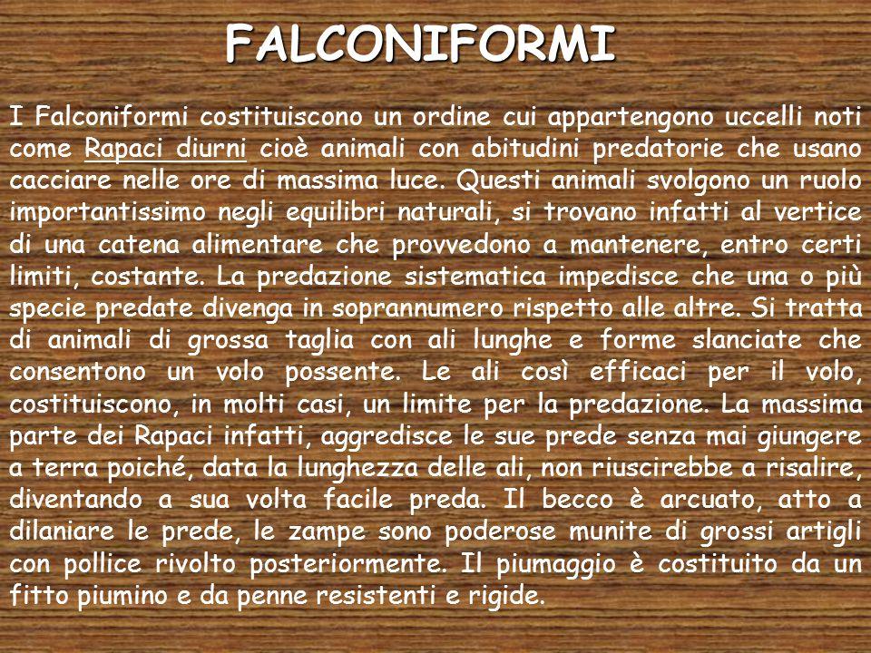 FALCONIFORMI I Falconiformi costituiscono un ordine cui appartengono uccelli noti come Rapaci diurni cioè animali con abitudini predatorie che usano c