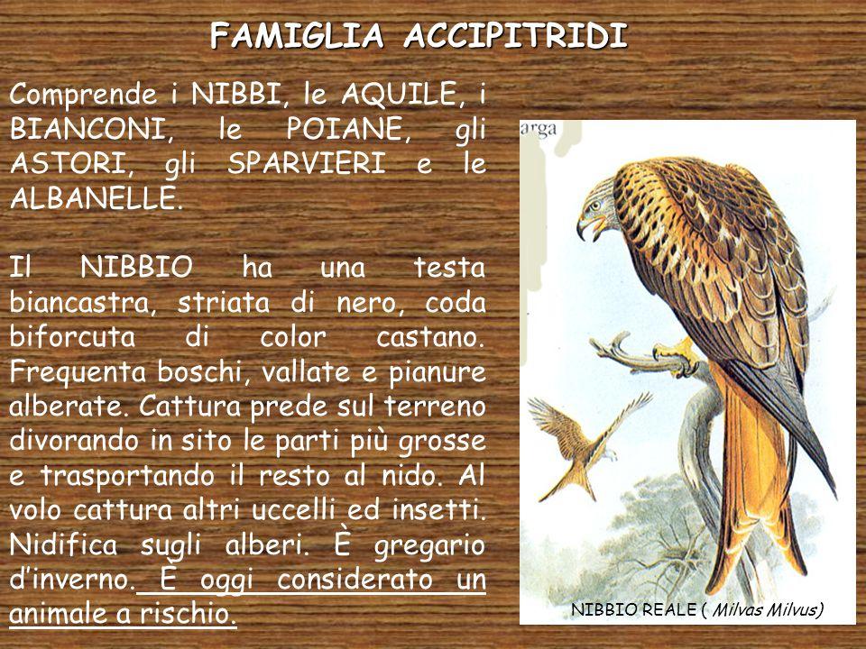 FAMIGLIA ACCIPITRIDI Comprende i NIBBI, le AQUILE, i BIANCONI, le POIANE, gli ASTORI, gli SPARVIERI e le ALBANELLE. Il NIBBIO ha una testa biancastra,
