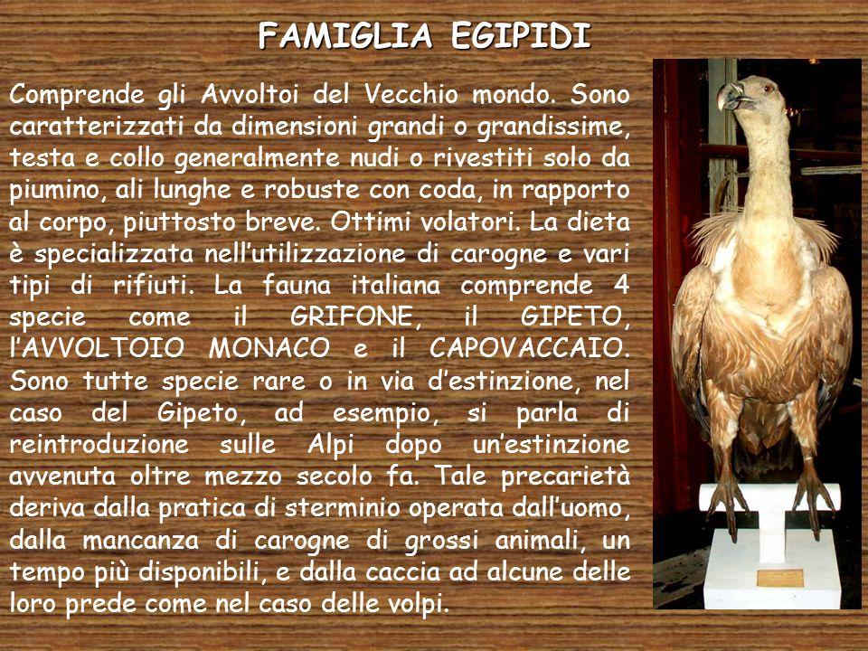 FAMIGLIA EGIPIDI Comprende gli Avvoltoi del Vecchio mondo. Sono caratterizzati da dimensioni grandi o grandissime, testa e collo generalmente nudi o r
