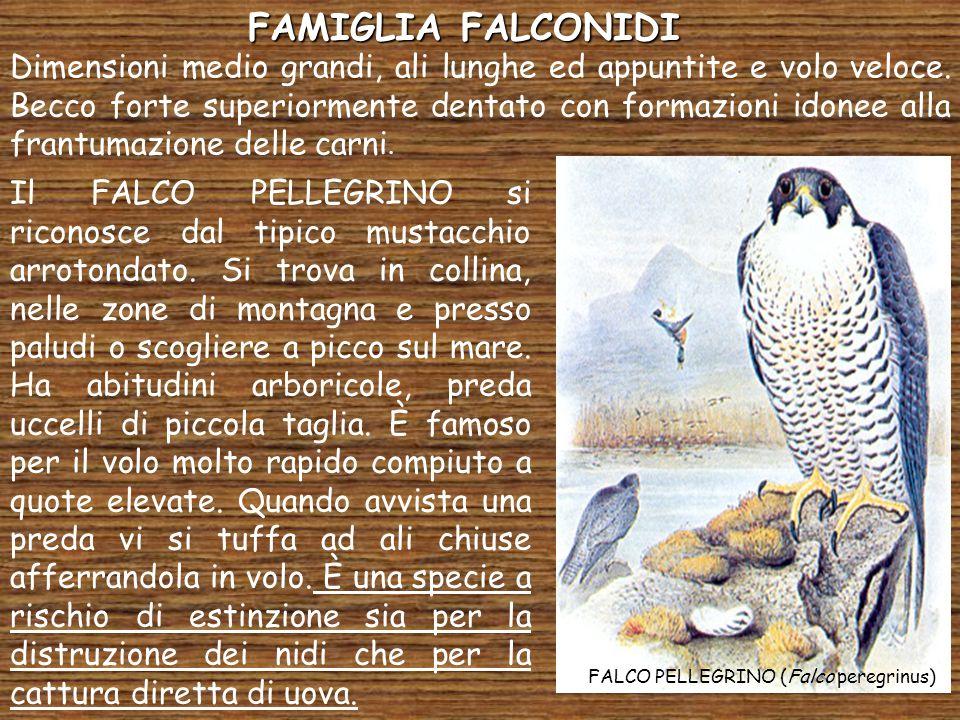FAMIGLIA FALCONIDI Dimensioni medio grandi, ali lunghe ed appuntite e volo veloce. Becco forte superiormente dentato con formazioni idonee alla frantu