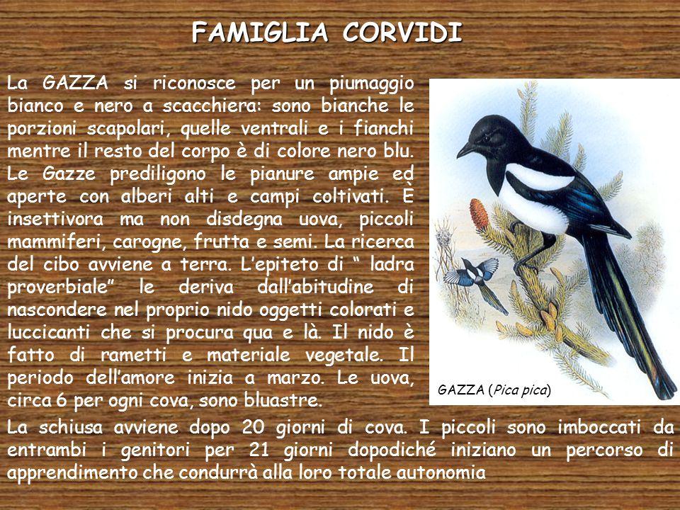 FAMIGLIA CORVIDI GAZZA (Pica pica) La GAZZA si riconosce per un piumaggio bianco e nero a scacchiera: sono bianche le porzioni scapolari, quelle ventrali e i fianchi mentre il resto del corpo è di colore nero blu.