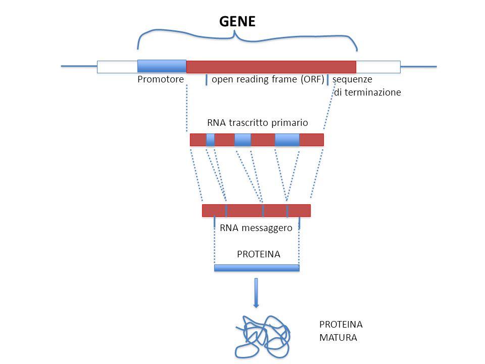 GENE Promotore open reading frame (ORF) sequenze di terminazione RNA trascritto primario RNA messaggero PROTEINA MATURA