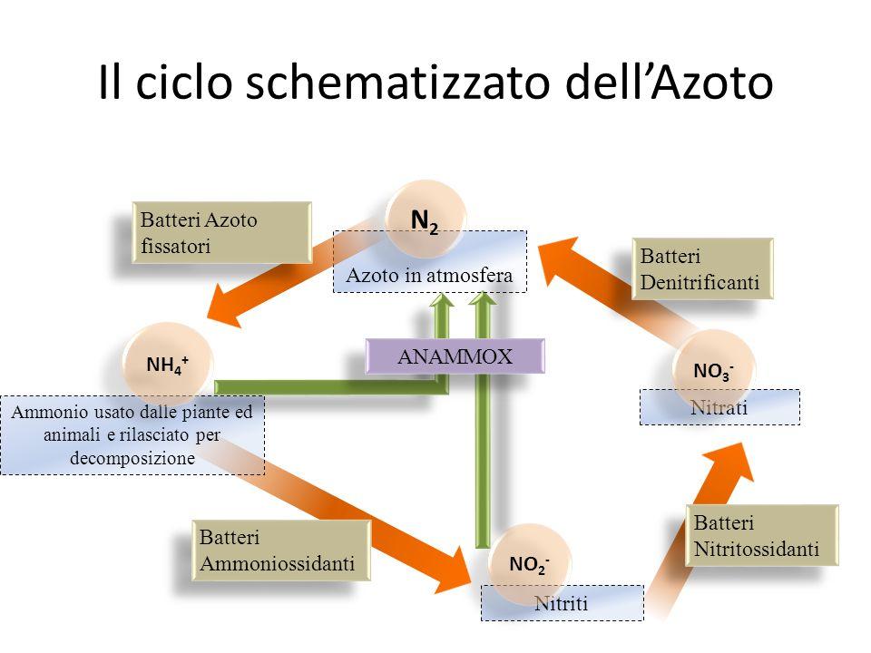 Il ciclo schematizzato dell'Azoto Nitriti Nitrati NO 3 - NO 2 - Ammonio usato dalle piante ed animali e rilasciato per decomposizione NH 4 + Azoto in