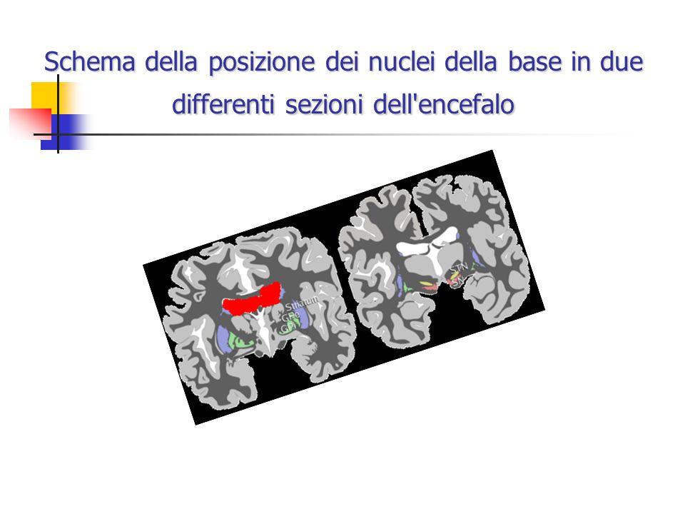 Schema della posizione dei nuclei della base in due differenti sezioni dell'encefalo