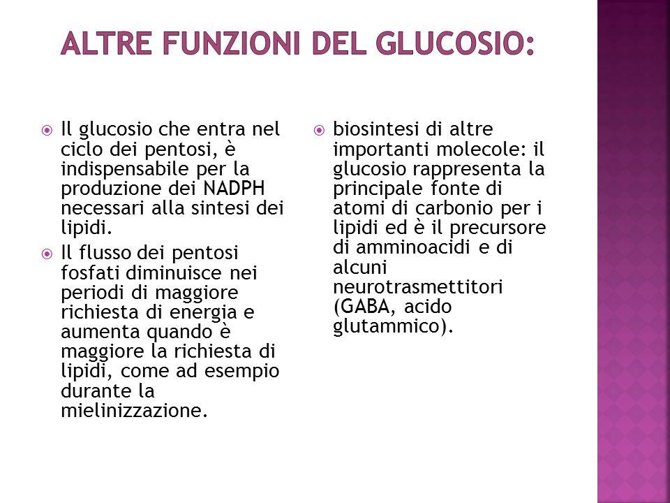  Il glucosio che entra nel ciclo dei pentosi, è indispensabile per la produzione dei NADPH necessari alla sintesi dei lipidi.