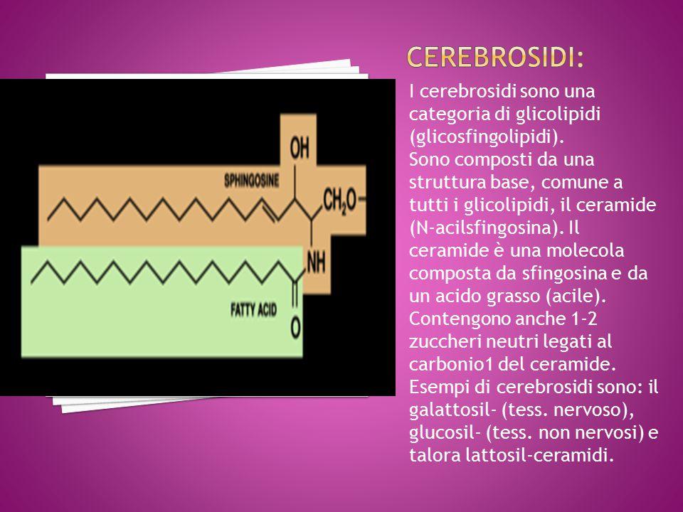 I cerebrosidi sono una categoria di glicolipidi (glicosfingolipidi).