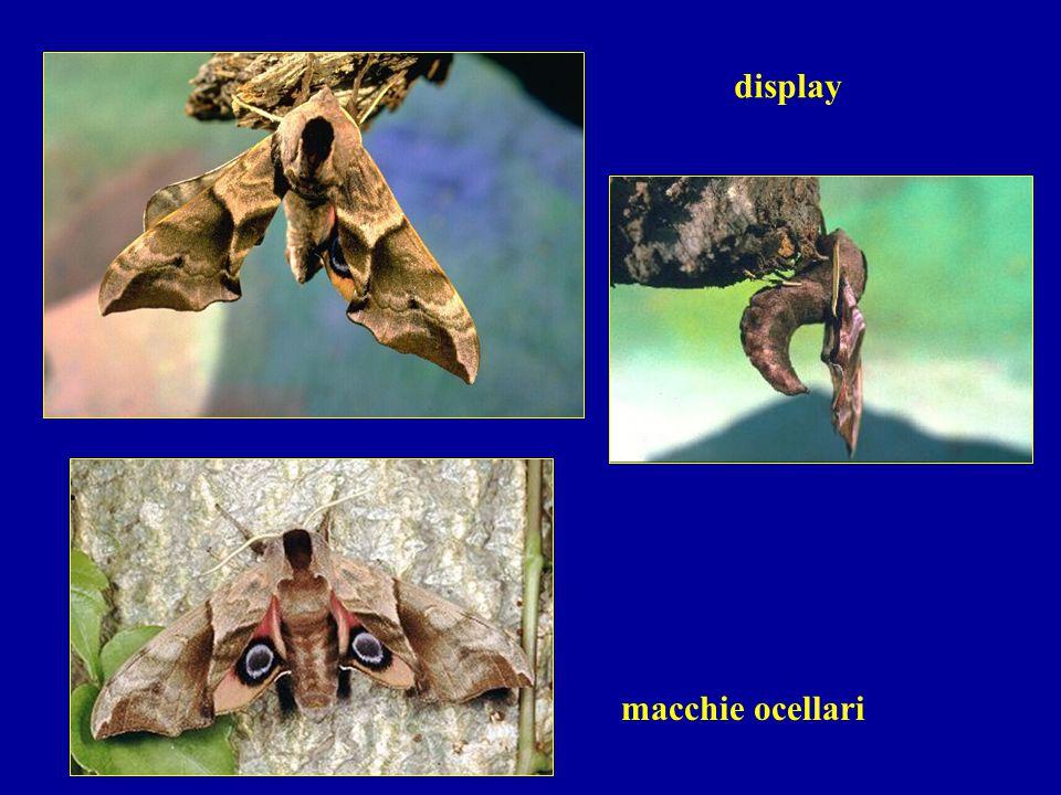 macchie ocellari