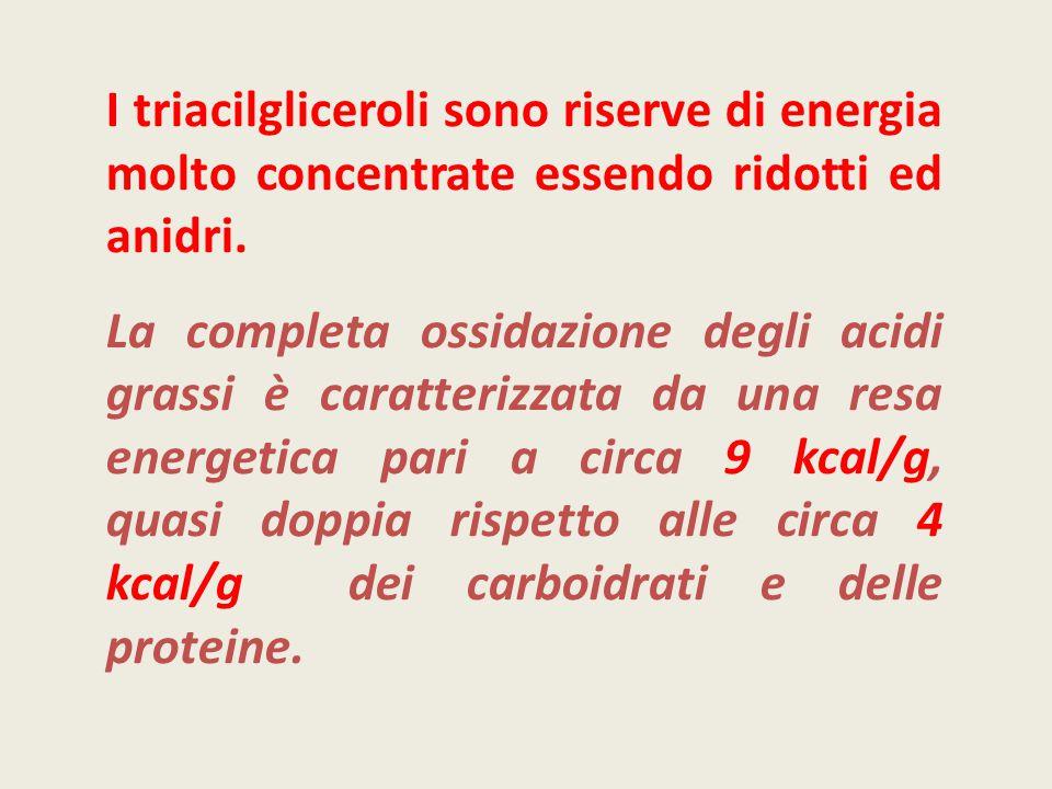 I triacilgliceroli sono riserve di energia molto concentrate essendo ridotti ed anidri. La completa ossidazione degli acidi grassi è caratterizzata da