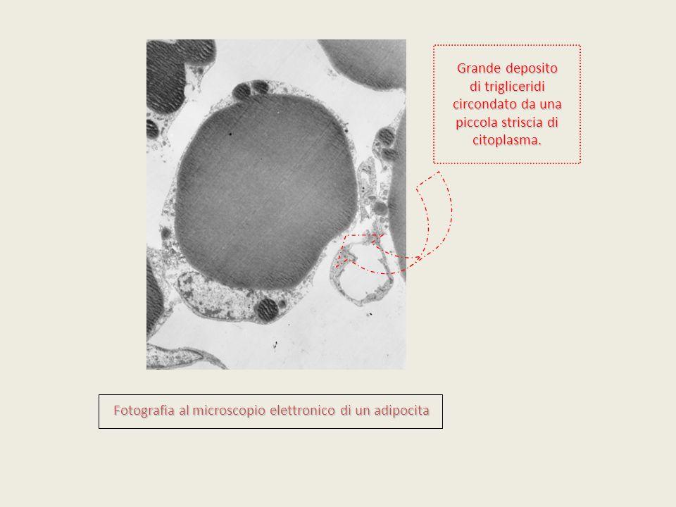 Fotografia al microscopio elettronico di un adipocita Grande deposito di trigliceridi circondato da una piccola striscia di citoplasma.