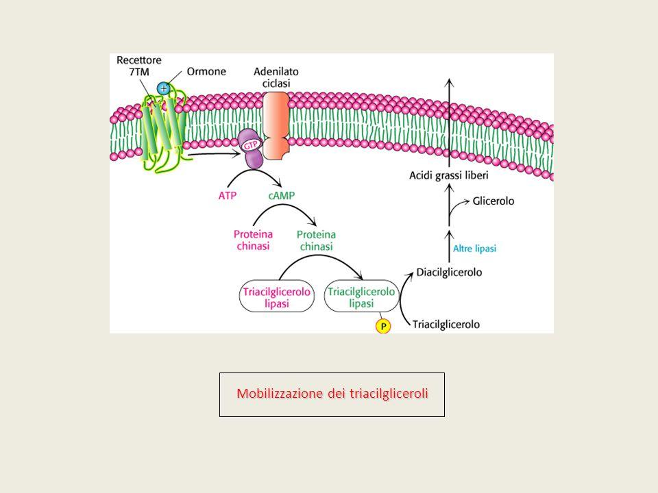 Mobilizzazione dei triacilgliceroli