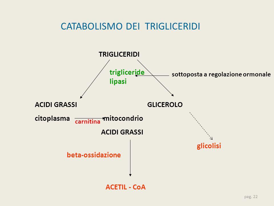 CATABOLISMO DEI TRIGLICERIDI pag. 22 ACIDI GRASSI GLICEROLO citoplasma mitocondrio beta-ossidazione TRIGLICERIDI trigliceride lipasi ACETIL - CoA glic