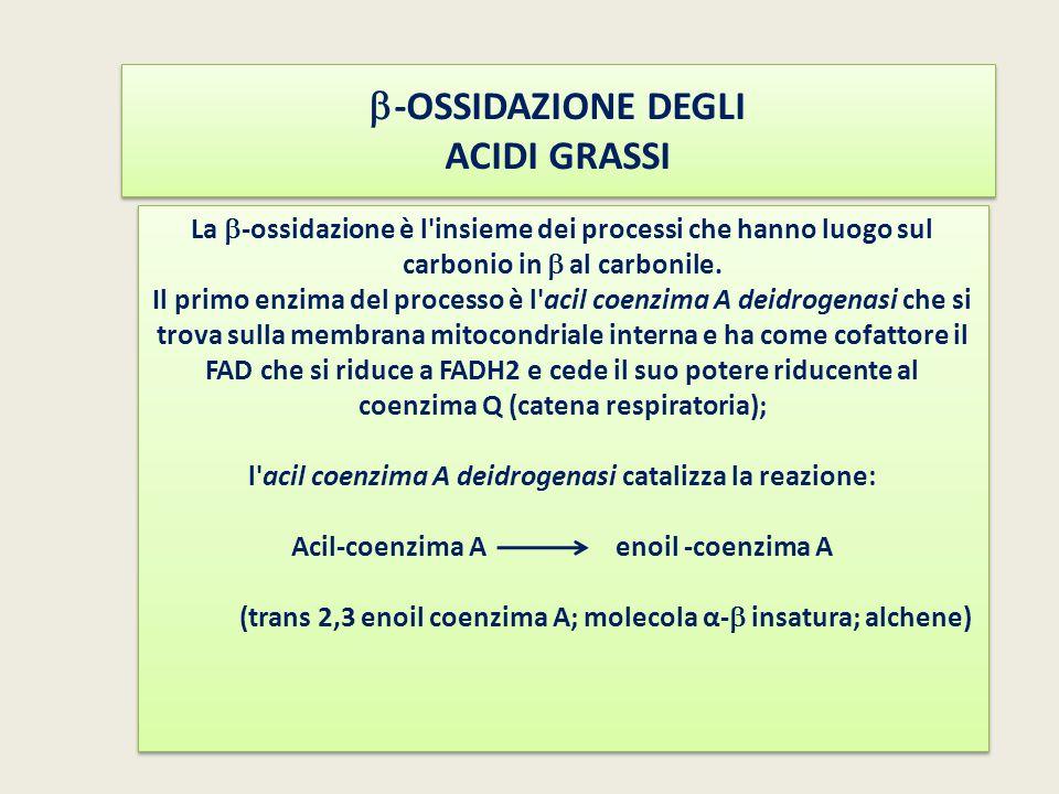  -OSSIDAZIONE DEGLI ACIDI GRASSI La  -ossidazione è l'insieme dei processi che hanno luogo sul carbonio in  al carbonile. Il primo enzima del proce