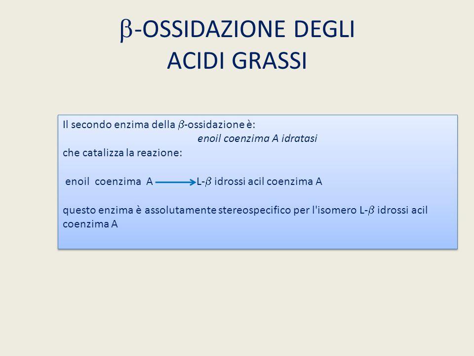  -OSSIDAZIONE DEGLI ACIDI GRASSI Il secondo enzima della  -ossidazione è: enoil coenzima A idratasi che catalizza la reazione: enoil coenzima A L- 