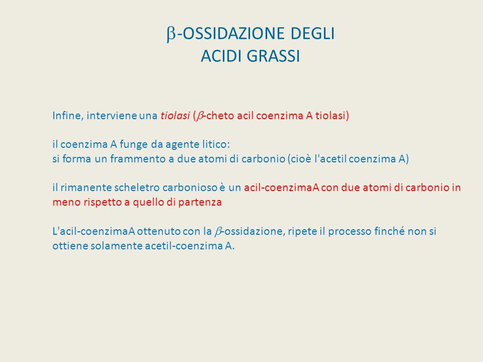  -OSSIDAZIONE DEGLI ACIDI GRASSI La Β-ossidazione è l'insieme dei processi che hanno luogo sul carbonio in Β al carbonile. Il primo enzima del proces
