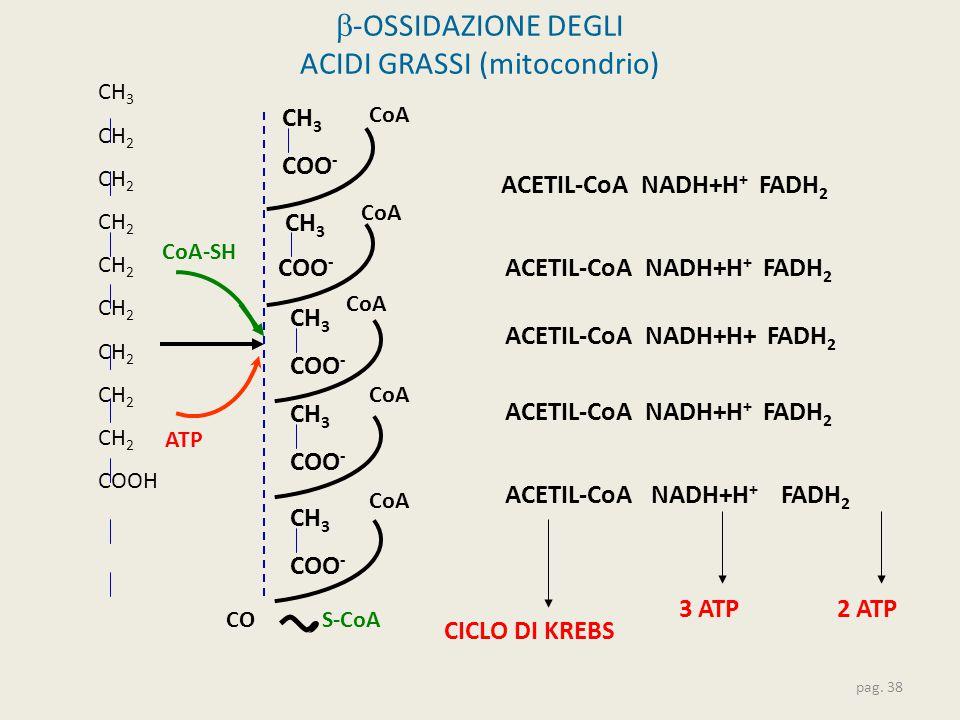  -OSSIDAZIONE DEGLI ACIDI GRASSI (mitocondrio) pag. 38 CH 3 CH 2 COOH COS-CoA CoA-SH ACETIL-CoA NADH+H + FADH 2 CoA ACETIL-CoA NADH+H + FADH 2 3 ATP2