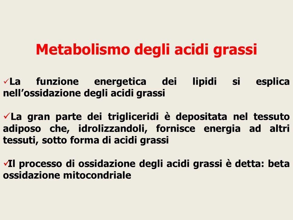 Metabolismo degli acidi grassi La funzione energetica dei lipidi si esplica nell'ossidazione degli acidi grassi La gran parte dei trigliceridi è depos