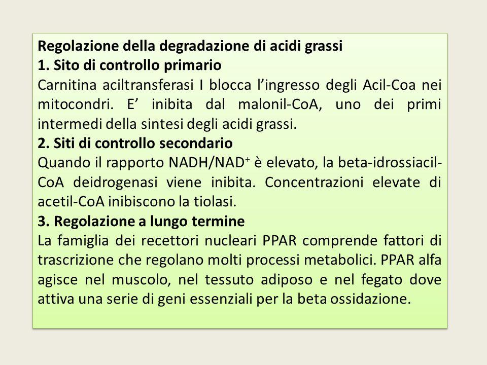 Regolazione della degradazione di acidi grassi 1. Sito di controllo primario Carnitina aciltransferasi I blocca l'ingresso degli Acil-Coa nei mitocond
