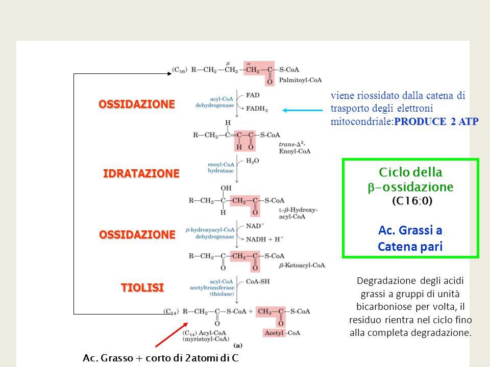 Ac. Grasso + corto di 2atomi di C Ciclo della  -ossidazione (C16:0) (C16:0) OSSIDAZIONE OSSIDAZIONE IDRATAZIONE TIOLISI PRODUCE 2 ATP viene riossidat