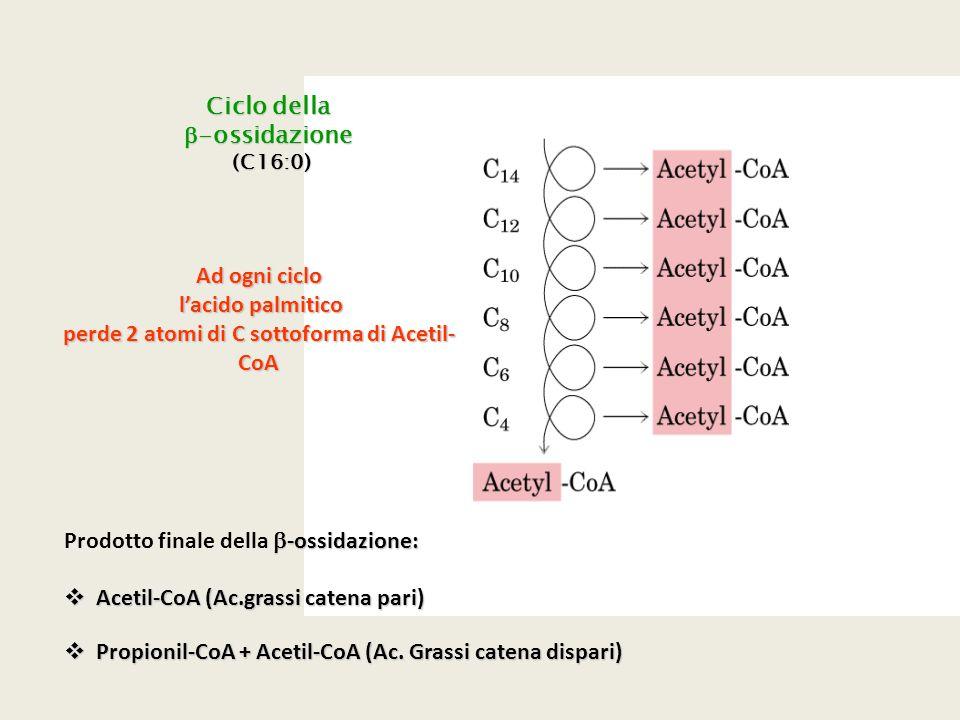 Ciclo della  -ossidazione (C16:0) (C16:0) Ad ogni ciclo l'acido palmitico l'acido palmitico perde 2 atomi di C sottoforma di Acetil- CoA  -ossidazio