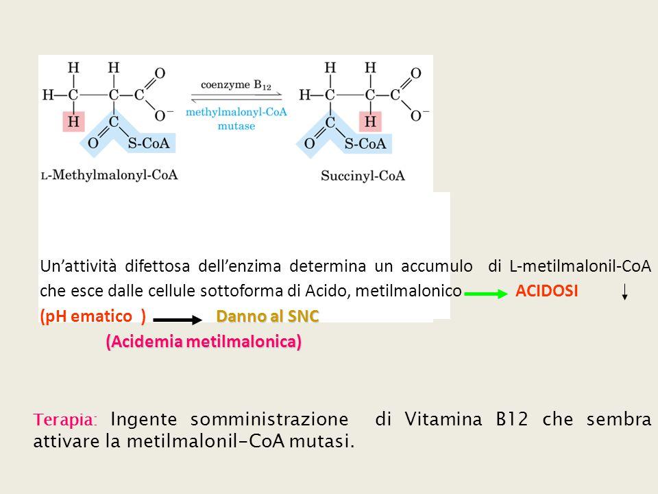 Un'attività difettosa dell'enzima determina un accumulo di L-metilmalonil-CoA che esce dalle cellule sottoforma di Acido, metilmalonico ACIDOSI Danno