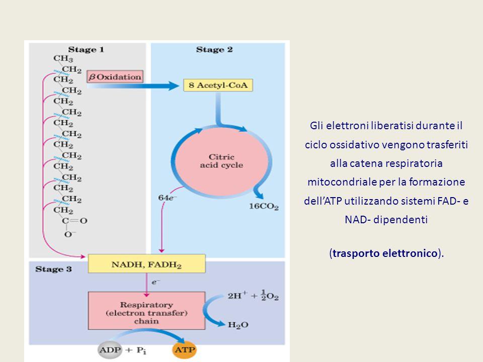 Gli elettroni liberatisi durante il ciclo ossidativo vengono trasferiti alla catena respiratoria mitocondriale per la formazione dell'ATP utilizzando