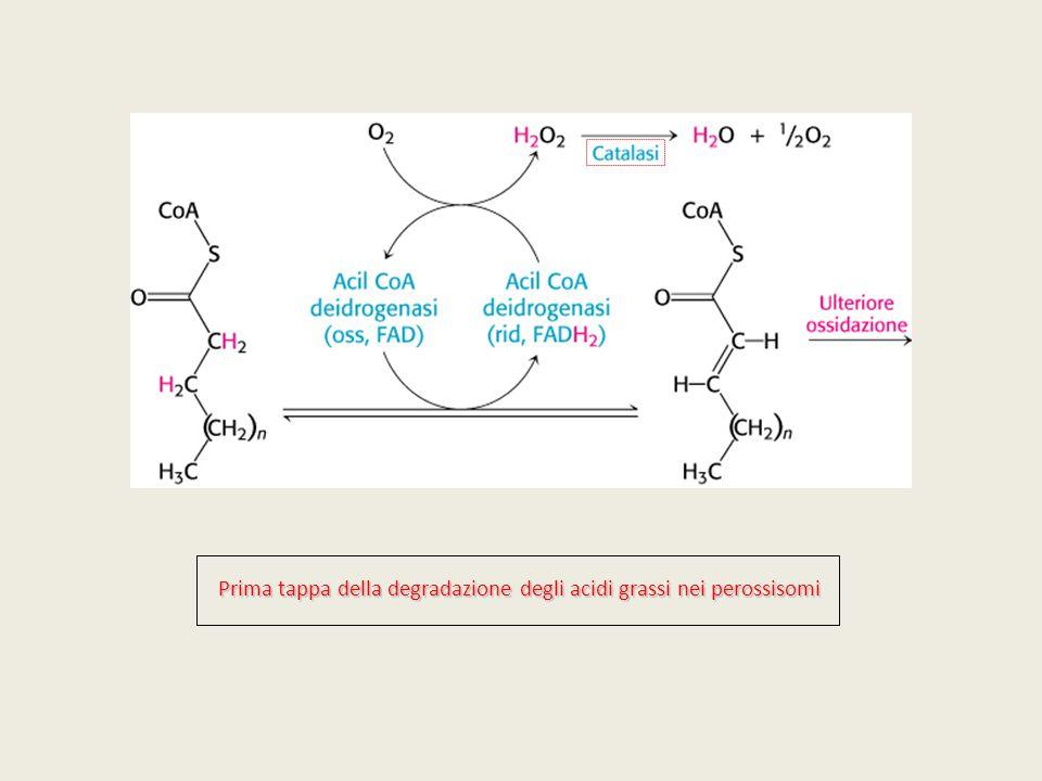 Prima tappa della degradazione degli acidi grassi nei perossisomi