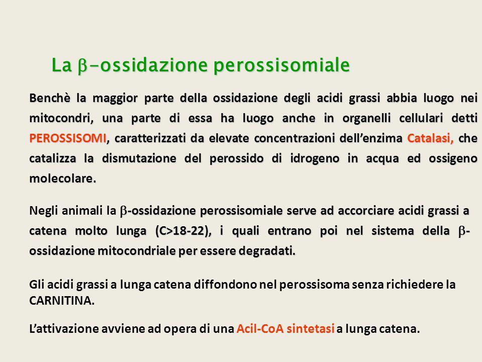 La  -ossidazione perossisomiale Benchè la maggior parte della ossidazione degli acidi grassi abbia luogo nei mitocondri, una parte di essa ha luogo a