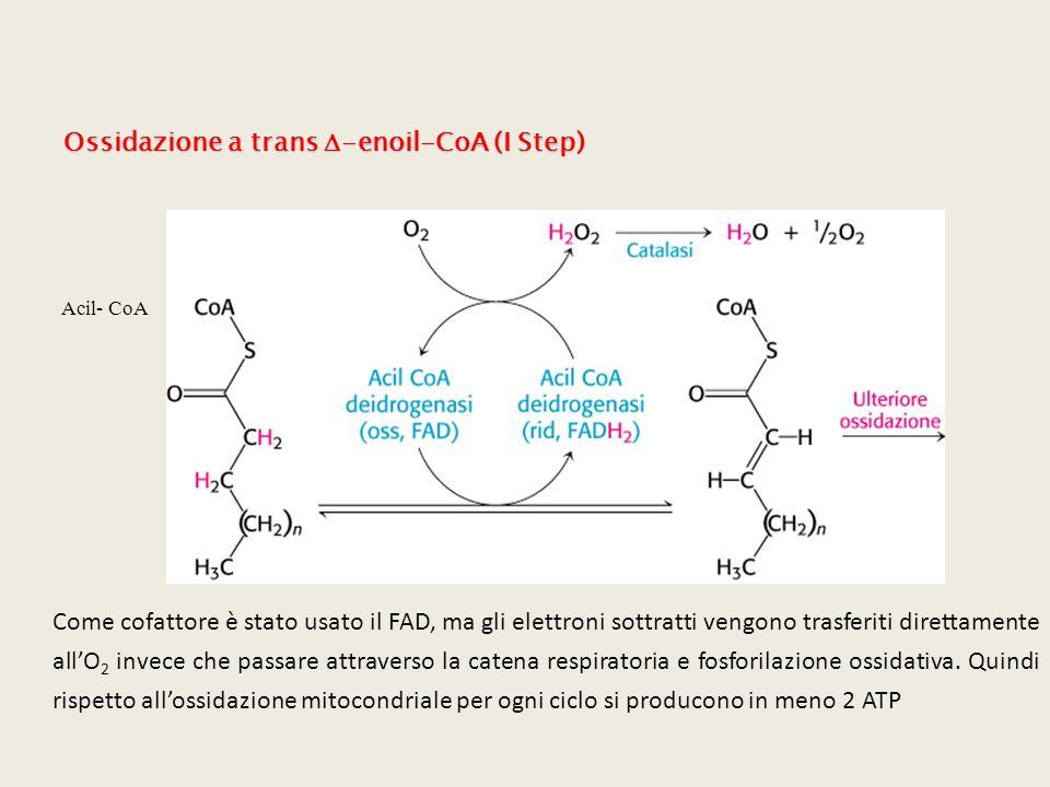Acil- CoA Come cofattore è stato usato il FAD, ma gli elettroni sottratti vengono trasferiti direttamente all'O 2 invece che passare attraverso la cat