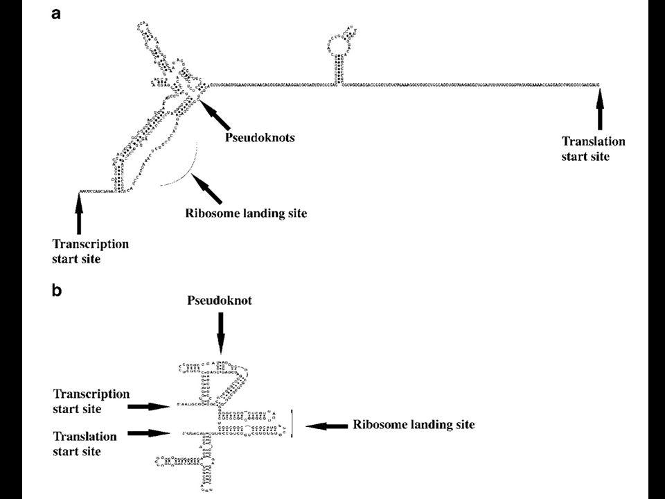 Regolazione eIF2   Fosforilazione su ser 51 in risposta a stress da parte di 4 chinasi: PKR, GCN2, PERK, HRI  La fosforilazione impedisce il riciclo da parte di eIF2B  La traduzione di alcuni mRNA è stimolata da bassi livelli di eIF2  attivo  Molti virus hanno sistemi per impedire la fosforilazione di eIF2 