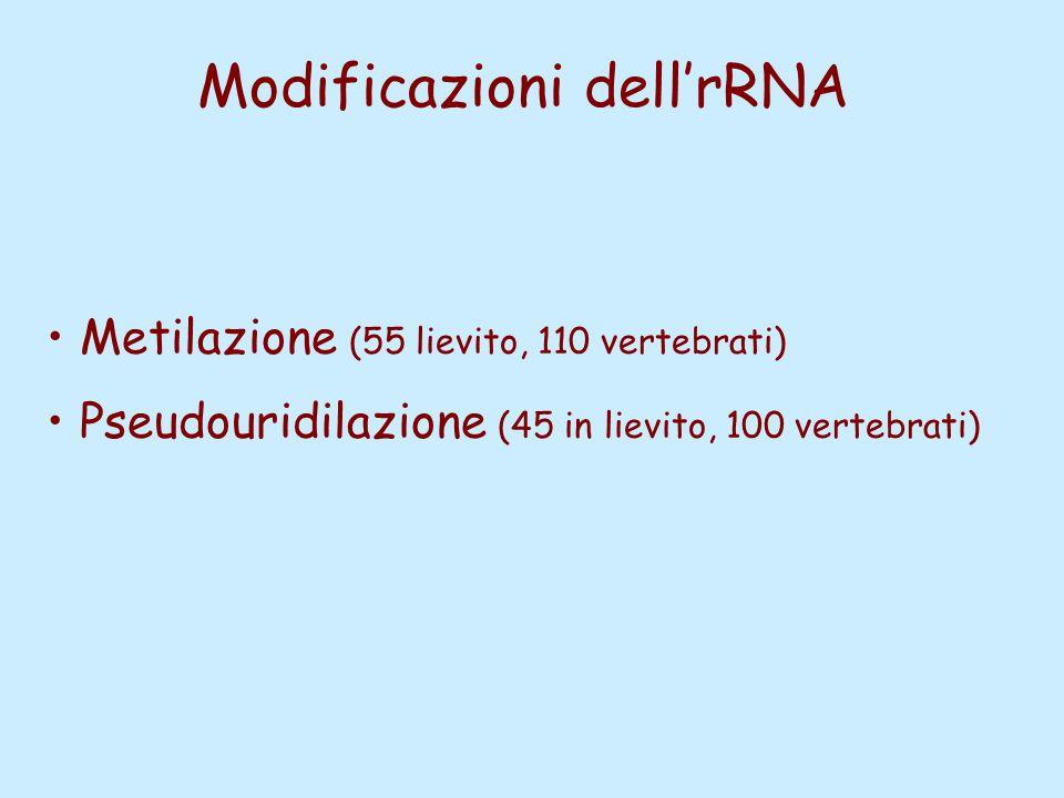 Modificazioni dell'rRNA Metilazione (55 lievito, 110 vertebrati) Pseudouridilazione (45 in lievito, 100 vertebrati)