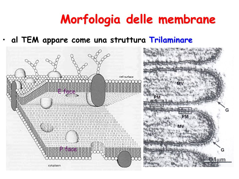 Morfologia delle membrane Trilaminareal TEM appare come una struttura Trilaminare E face P face