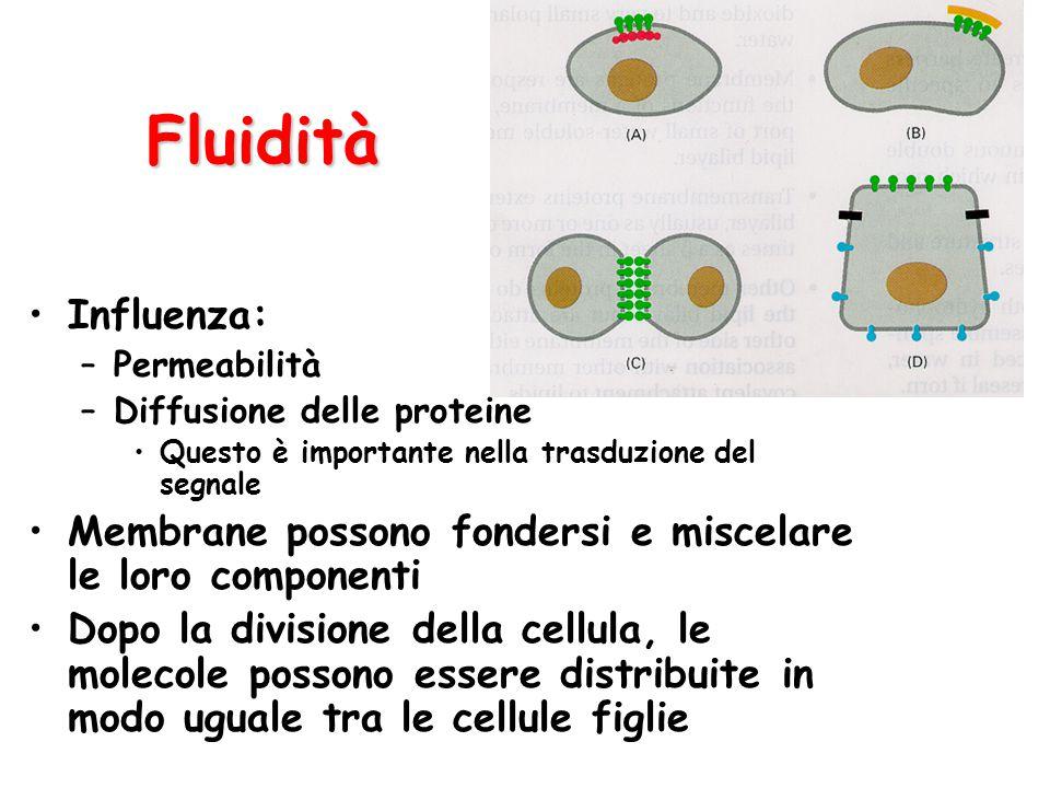 Fluidità Influenza: –Permeabilità –Diffusione delle proteine Questo è importante nella trasduzione del segnale Membrane possono fondersi e miscelare l
