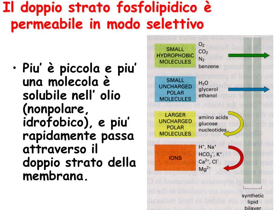 Il doppio strato fosfolipidico è permeabile in modo selettivo Piu' è piccola e piu' una molecola è solubile nell' olio (nonpolare, idrofobico), e piu'