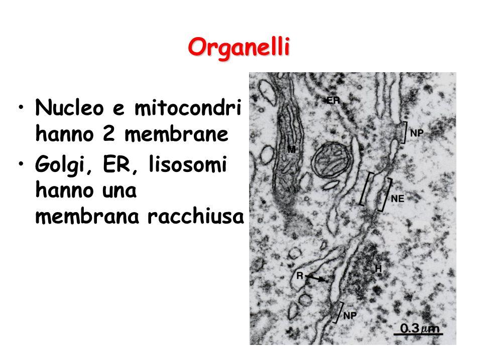 Organelli Nucleo e mitocondri hanno 2 membrane Golgi, ER, lisosomi hanno una membrana racchiusa