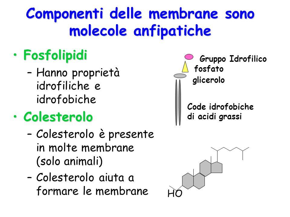 Componenti delle membrane sono molecole anfipatiche FosfolipidiFosfolipidi –Hanno proprietà idrofiliche e idrofobiche ColesteroloColesterolo –Colester