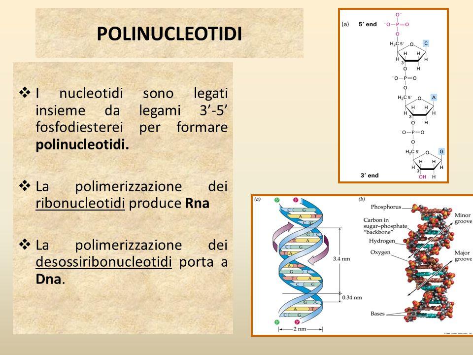 POLINUCLEOTIDI  I nucleotidi sono legati insieme da legami 3'-5' fosfodiesterei per formare polinucleotidi.  La polimerizzazione dei ribonucleotidi