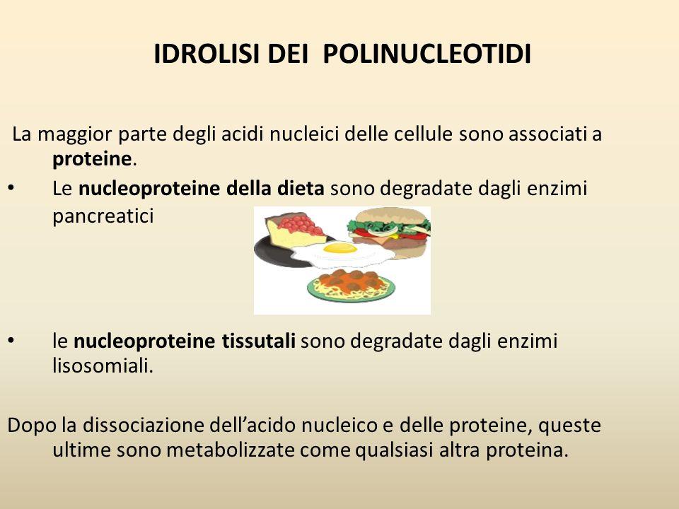 IDROLISI DEI POLINUCLEOTIDI La maggior parte degli acidi nucleici delle cellule sono associati a proteine. Le nucleoproteine della dieta sono degradat