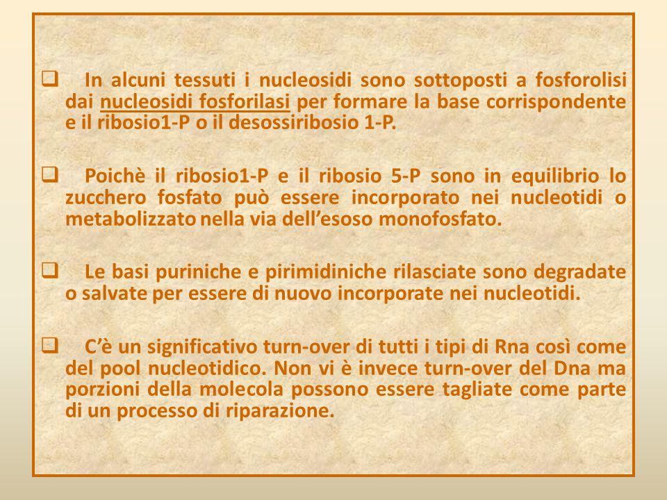  In alcuni tessuti i nucleosidi sono sottoposti a fosforolisi dai nucleosidi fosforilasi per formare la base corrispondente e il ribosio1-P o il deso