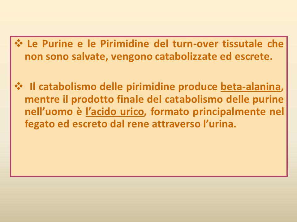  Le Purine e le Pirimidine del turn-over tissutale che non sono salvate, vengono catabolizzate ed escrete.  Il catabolismo delle pirimidine produce