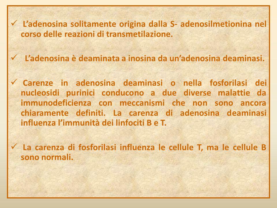 L'adenosina solitamente origina dalla S- adenosilmetionina nel corso delle reazioni di transmetilazione. L'adenosina è deaminata a inosina da un'adeno