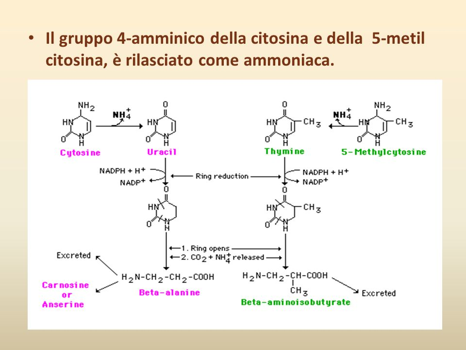 Il gruppo 4-amminico della citosina e della 5-metil citosina, è rilasciato come ammoniaca.