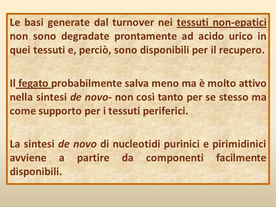 Le basi generate dal turnover nei tessuti non-epatici non sono degradate prontamente ad acido urico in quei tessuti e, perciò, sono disponibili per il