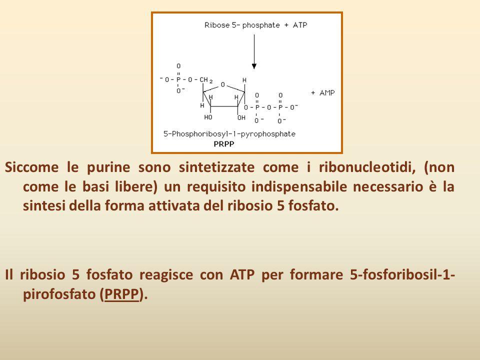 Siccome le purine sono sintetizzate come i ribonucleotidi, (non come le basi libere) un requisito indispensabile necessario è la sintesi della forma a